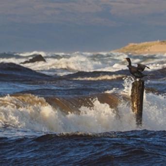 Cormorant at Blackwaterfoot