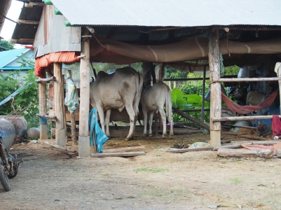 The livestock live under the house